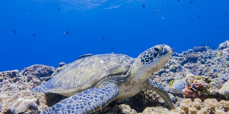Sea turtle in the Caribbean